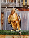 Red tailed hawk in its mews a buteo jamaicens is inside living space or an organization that helps eduacte the public about birds Royalty Free Stock Photo