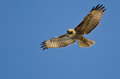 Red-Tailed Hawk Making Eye Contact As It Flys Royalty Free Stock Photo