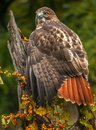 A Red Tailed Hawk sitting on a branch. Royalty Free Stock Photo