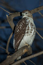 Red tailed hawk on tree Royalty Free Stock Photography