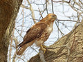 Red tailed hawk in a tree closeup profile view of Royalty Free Stock Photos