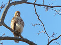 Red tailed hawk in a tree looking into the camera front view of down at Royalty Free Stock Images