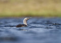 Red throated diver gavia stellata adult in breeding plumage swimming shetland Royalty Free Stock Image