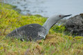 Red throated diver gavia stellata in south of iceland a pond near nupstadur Stock Photography