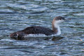 Red throated diver a gavia stellata in winter plumage on water Stock Photo