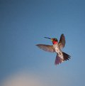 Red throated hummingbird small with a throat that is in flight Stock Image