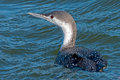 Red-throated Loon Royalty Free Stock Photo