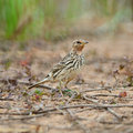 Red throated pipit anthus cervinus standing on the ground in breeding season Stock Photography