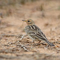 Red throated pipit anthus cervinus standing on the ground in breeding season back profile Royalty Free Stock Photos