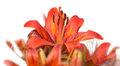 Red tiger lily Bouquet Outdoors isolated Royalty Free Stock Photo