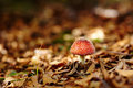 Red toadstool closeup of a poisonous in the forest Stock Image