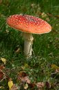 Red Toadstool Royalty Free Stock Photo