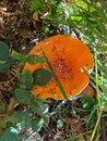 Red toadstool in forest Royalty Free Stock Photo