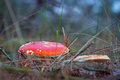 Red toadstool in the forest Royalty Free Stock Photo