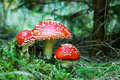 Red toadstools Stock Photography