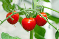 Red tomato on plant Royalty Free Stock Image