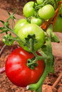 Red tomato plants growing in the garden meat tomatoes Stock Photos