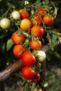 Red tomatoes and green leafes view of Royalty Free Stock Photography