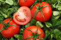 Red tomatoes surrounded by fresh green mache lettuce Royalty Free Stock Photography