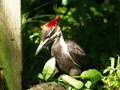 Red top woodpecker large located in canada and north america Stock Image