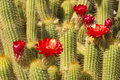 Red torch cactus close up botanical garden phoenix az Stock Image