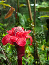 Red torch ginger flower at hawaii big island in akaka state park Stock Images
