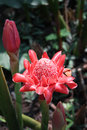 Red torch ginger has tall gracefully arching foot leaves and lovely porcelain inflorescences on feet tall basal stems the petals Royalty Free Stock Photography