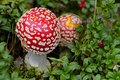 Red toxic Amanita muscaria mushroom Royalty Free Stock Photos