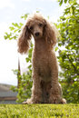 Red toy poodle posing on green grass Stock Photos