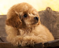 Red Toy Poodle puppy Royalty Free Stock Image