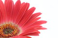 A red transvaal daisy close uped picture of Royalty Free Stock Photo