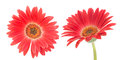 Red transvaal daisy isolated on a white bachground Stock Photo