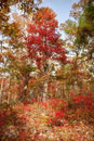 Red tree in autumn forest Royalty Free Stock Photo