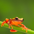 Red tree frog climbing in amazon rain forest small amphibian with big eyes dendropsophus leucophyllatus from tropical jungle of Royalty Free Stock Image