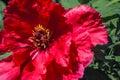 Red tree peony flower in full bloom