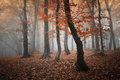 Red trees in a forest with fog in autumn Royalty Free Stock Photo