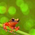 Red tropical exotic tree frog climbing in amazon rain forest small amphibian with big eyes dendropsophus leucophyllatus from Royalty Free Stock Photography