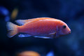 Red tropical fish swims in aquarium Stock Photo