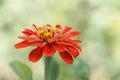 Red tsiniya flower close up on soft green background. Selective focus Royalty Free Stock Photo