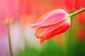 Red tulip on the background of green grass close-up. Royalty Free Stock Photo