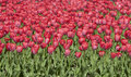 Red tulip bed, tulips in spring Stock Photo