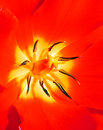 Red tulip bloom detail Royalty Free Stock Photo