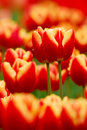 Red tulip the blooming in the spring Stock Photo