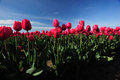 Red tulip with blue sky in a farm in washington Stock Image