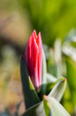 Red tulip bud with dew droplets in morning sunlight Royalty Free Stock Photography