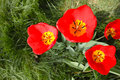 Red tulip the cloe up of flowers Stock Photos