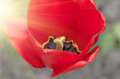 Red tulip close Royalty Free Stock Photo