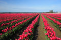 Red tulip farm in washington north of seattle Stock Photography