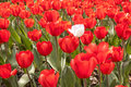 Red tulip field with one white tulip of tulips standing out Stock Photo