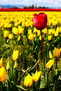 Red tulip in a field of yellow Stock Photos
